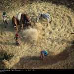 Foulage des céréales au sud d'Adigrat, région Tigré, Ethiopie. © Yann Arthus-Bertrand