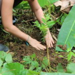 Plantation dans la bananeraie © Ishpingo