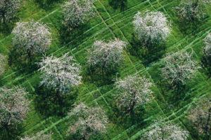 Cerisiers en fleurs dans les monts du Lyonnais, Rhône - © Yann Arthus-Bertrand
