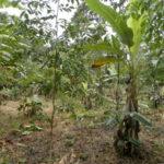 Plantation fruitières dans bananeraie © Ishpingo