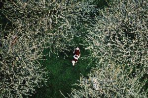 Vache laitière (Bos taurus) sous les cerisiers, Rhône, France © Yann Arthus-Bertrand