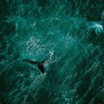 Baleine au large de la péninsule de Valdés, Argentine (42°23' S - 64°29' O). © Yann Arthus-Bertrand