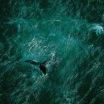 Baleine au large de la péninsule de Valdés, Argentine. © Yann Arthus-Bertrand