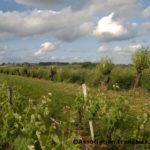 Trogne de saule à Saint-Emilion (c) Association Française d'Agroforesterie