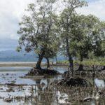 Détails des racines de mangroves à marée basse, Bahoi-Indonésie carre ACS