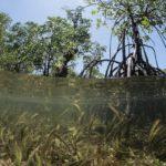 Herbiers marins et mangroves le long des côtes de Bahoi-Indonésie carre ACS