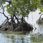 Mangroves du village de Bahoi-Indonésie (4) carre ACS