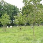 agroforesterie Seine Normandie vaches
