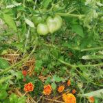 trois soeurs permaculture tomates basilic oeillet