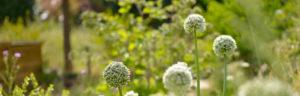 fleurs d'oignons (c)GoodPlanet