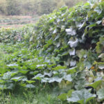 Une plantation de courges