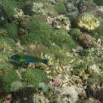 Poisson dans les coraux Maurice