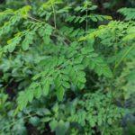 Des feuilles de moringa.