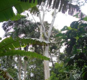 Forêt primaire arbre essence valeur Equateur Ishpingo