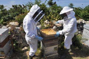 Des apiculteurs enfument une ruche le 06 juillet 2010 sur l'île d'Ouessant dans le Finistère. AFP PHOTO FRED TANNEAU (Photo by FRED TANNEAU / AFP)